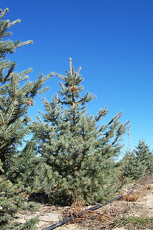 Engelmann Spruce tree