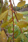 Weeping Pussy Willow fall leaves