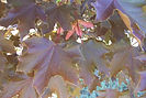 Fairview Maple leaves