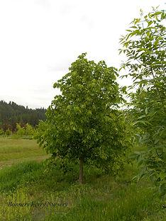 Redmond Linden tree