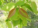 Ivory Silk Lilac bush new growth
