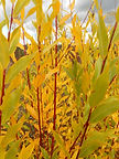 Flame Willow fall leaves