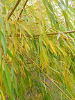 Niobe Weeping Willow fall leaves