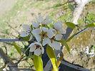 Anjou Pear flower
