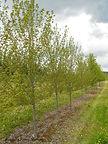 Sun Valley Maple spring tree
