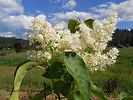 Ivory Silk Lilac bush flower