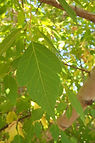 Sensation Box Elder leaves