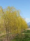 Niobe Weeping Willow tree in spring