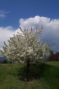 David Crabapple tree in spring