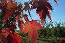Sienna Glen Maple fall leaves