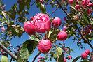 Brandywine Crabapple flower bud