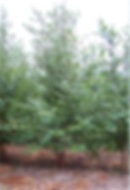 Red Western Birch clump