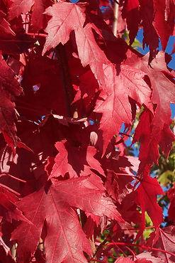 autumnblaze_fleaves2.jpg