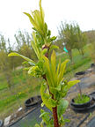 Satsuma Plum new growth