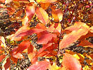 Prairifire Crabapple fall leaves