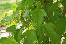 Ginnala Maple flower bud