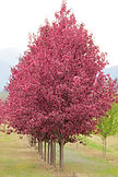 Perfect Purple Crabapple tree in spring