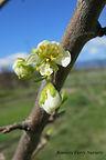 Italian Prune flower bud