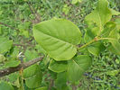 Ivory Silk Lilac bush leaves