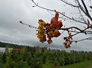 Royal Red Maple flower