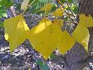 Robusta Poplar fall leaves