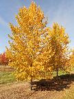 Greenspire Linden fal color