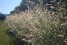 Dappled Willow bush