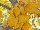 Greenspire Linden fall leaves