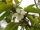 Lapins Cherry flower