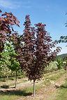 Fairview Maple tree