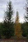 Western Larch tree - one in fall color