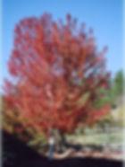 Autumn Blaze Maple fall color