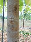 Sensation Box Elder bark