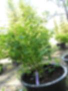 Aurora Honeyberry bush