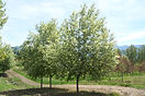 Canada Red Chokecherry tree in spring