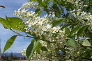 Canada Red Chokecherry flower