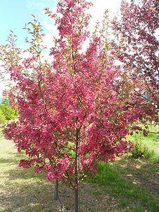 Purple Prince Crabapple tree in spring
