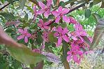 Purple Prince Crabapple flower