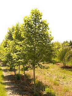 American Sentry Linden tree
