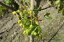 Emerald Queen Maple flower bud