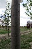 Merlot Bird Cherry bark