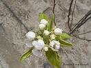 Anjou Pear flower bud