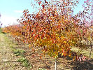 Prairie Rose Crabapple fall color