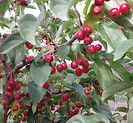 Donald Wyman Crabapple fruit