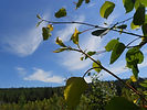 Quaking Aspen new growth