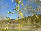 Niobe Weeping Willow flower
