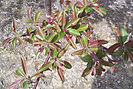 Purple Prince Crabapple new growth and flower buds