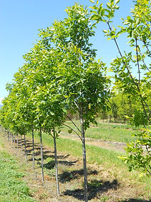 Prairie Spire Ash tree