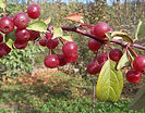 David Crabapple fruit