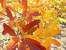Prairie Rose Crabapple fall leaves